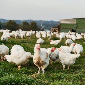 Sutton Hoo chicken | Genuinely free-range chickens in Norfolk