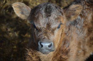 Peelham Farm | calf