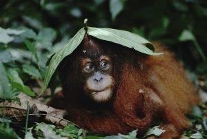 A Sumatran orangutan | © naturepl.com / Anup Shah / WWF