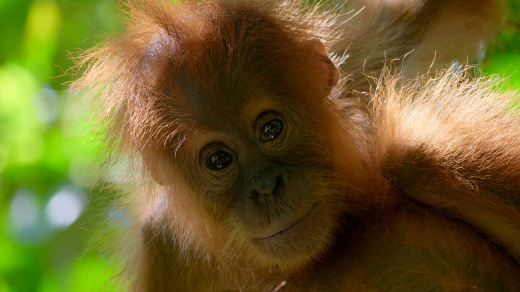 Young orangutan in Borneo