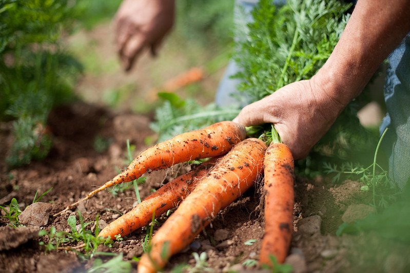 Riverford carrots