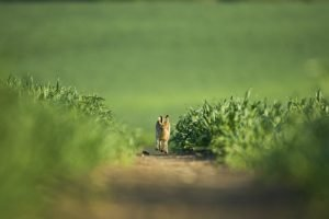 Brown Hare running in field
